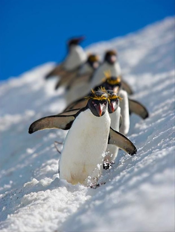 cute penguins playing in the snow