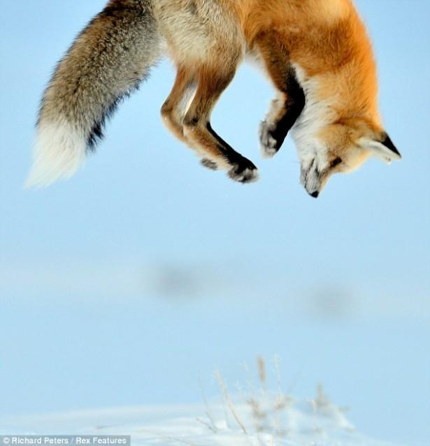 Cute animals, arctic fox