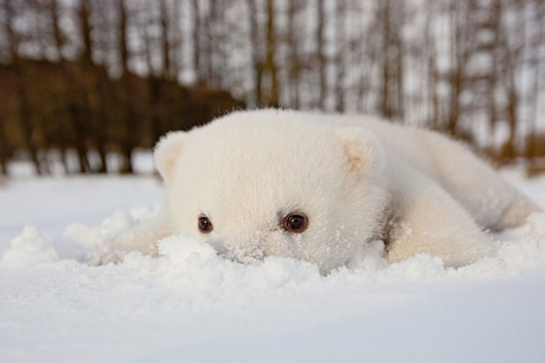 cute animals, little polar bear playing in the snow