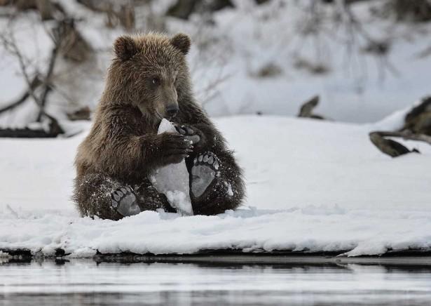 Cute bear in the snow