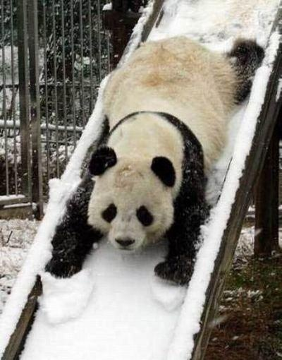 Funny panda in the snow