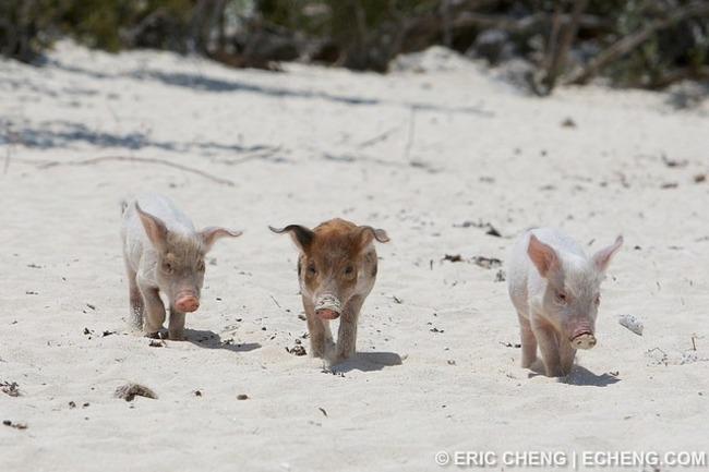 Pig-Beach-Bahamas-Big-Major-Cay-3 - Travels And Living