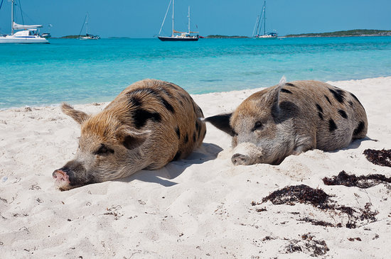 Pig Beach in the Bahamas is truly a paradise on earth for both humans and pigs