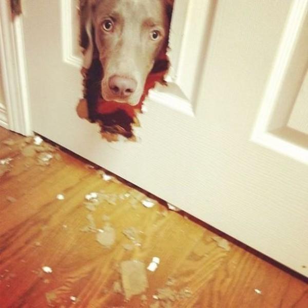 A bad dog eating the door.