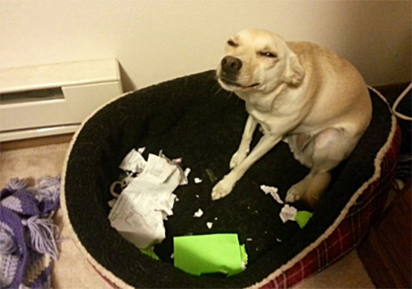 A bad dog feeling ashamed for what he's done