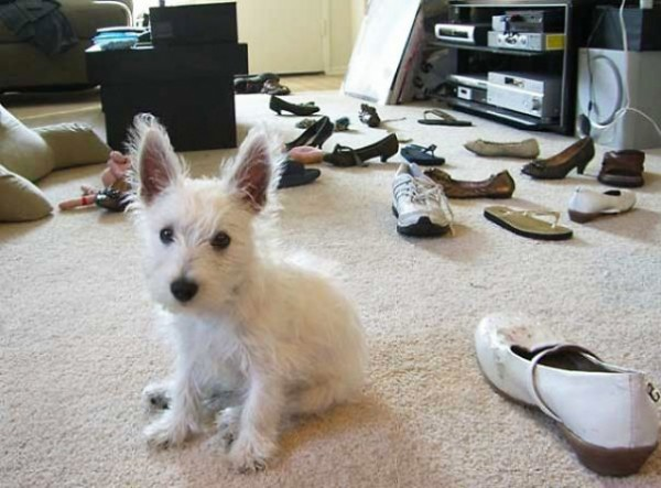 A bad dog chewing his owner's shoes