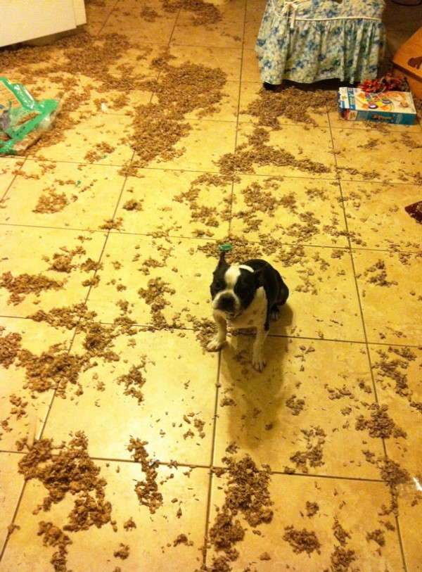 A bad dog making a mess in the house