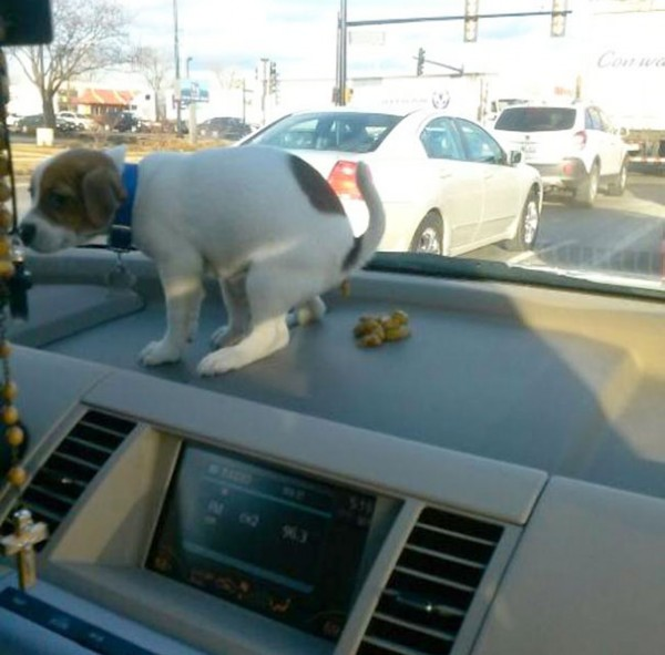A bad dog pooping on the dashboard