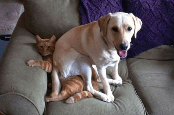A bad dog sitting on a cat like she's a couch