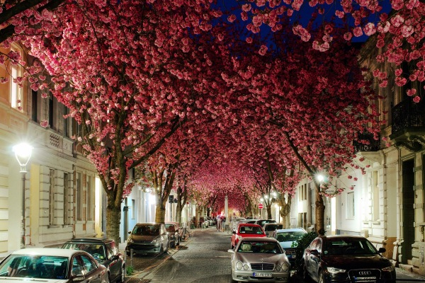 Cherry blossoms Bonn Germany are one of the most beautiful trees in the world.