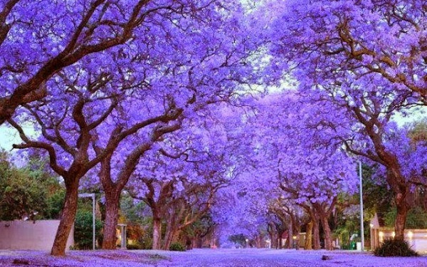 most beautiful trees in the world travels and living