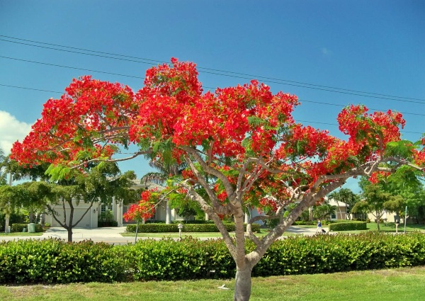 Royal Poinciana in Brazil is one of the most beautiful trees in the world.