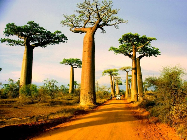 The Baobab trees in Madagascar are one of the most beautiful trees.