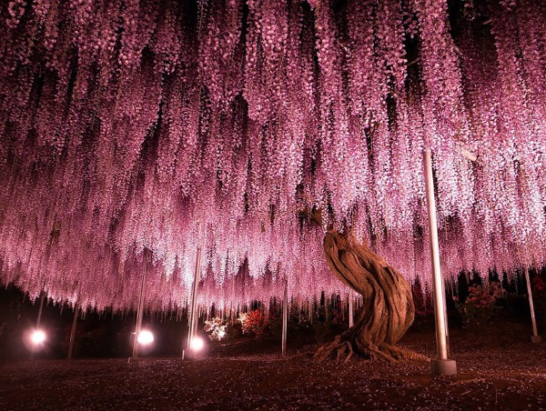 The 144-year-old Wisteria in Japan is one of the most beautiful trees in the world.