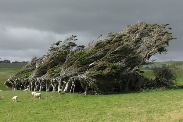 The trees deformed by the wind in New Zealand are one of the most beautiful trees in the world.