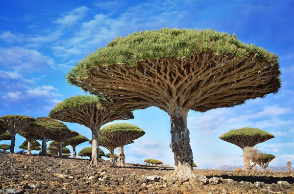 Dragonblood trees in Yemen are one of the most beautiful trees in the world.