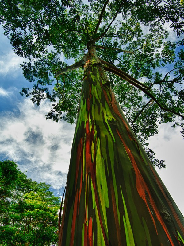 Eucalyptus in Kauai in Hawaii is one of the most beautiful trees.
