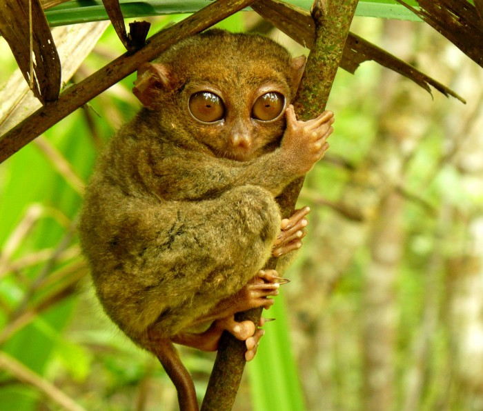 Bohol is one of the most attractive places to visit in the Philippines, where you can see the smallest primate.