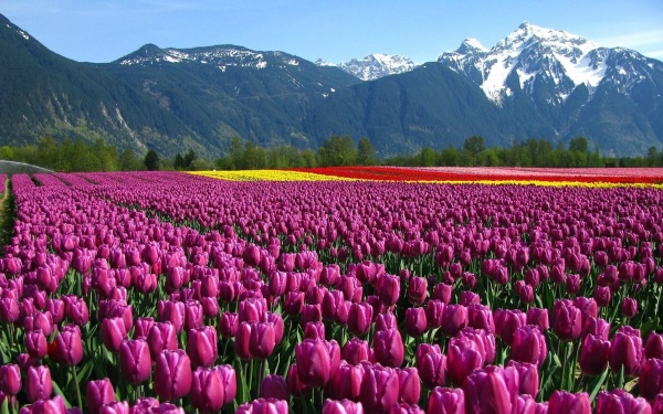 Tulip flower fields located in British Columbia.