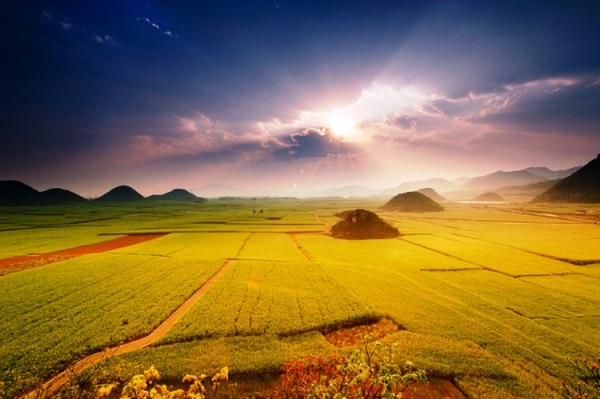 Canola flower fields  in Luoping China.