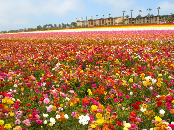 Carlsbad Flower Fields in Los Angeles in the USA