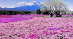 Flower fields of pink moss in Japan, Mount Fiji.