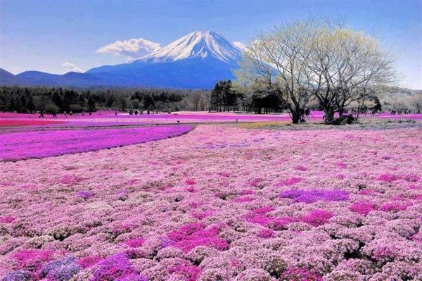 Flower fields of pink moss in  Japan, Mount Fiji.