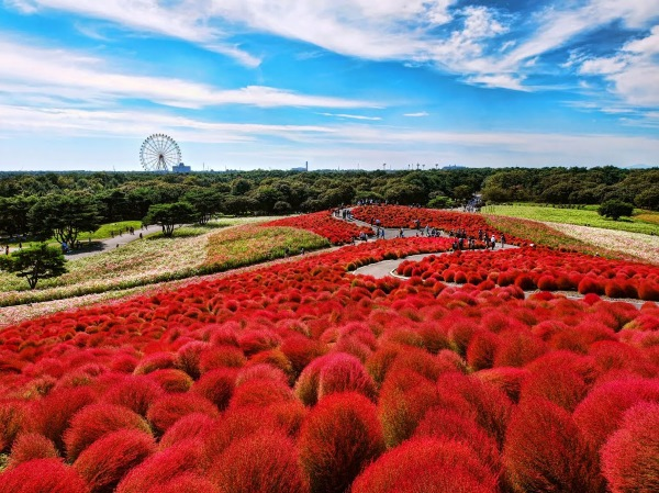 Flower fields located in Hitachi Seaside Park in Japan