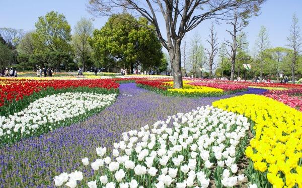 Kisosansen Park Tulip Festival in Kaizu, Japan