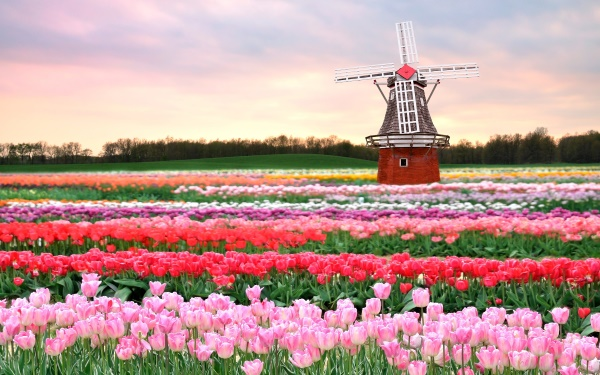 Flower fields of red and pink tulips in the Netherlands.