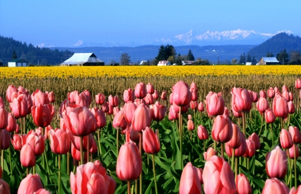 Flower fields of pink tulips in Washington.