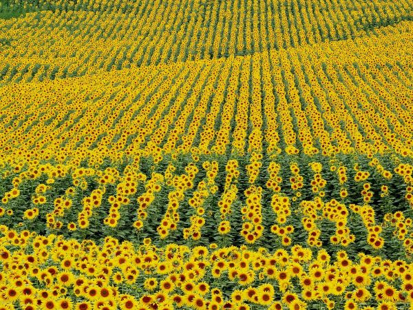 Flower fields of sunflowers in Spain