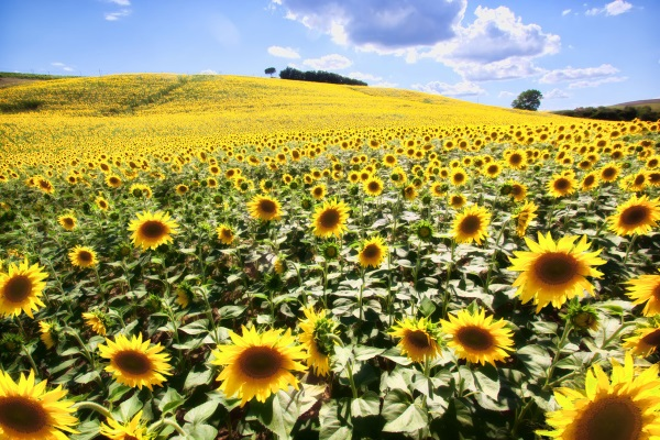 Sunflower fields located in Tuscany, Italy