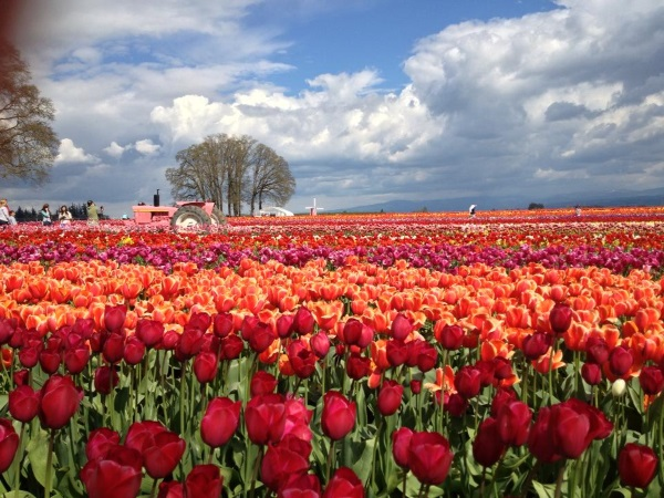 Flower fields of bright red tulips in Oregon, USA.