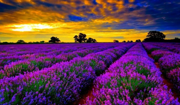 Lavender flower fields in Provence France.