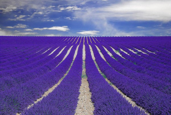 Lavender fields in Provence France.
