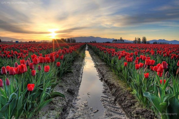 Flower fields in Skagit Valley in Washington.
