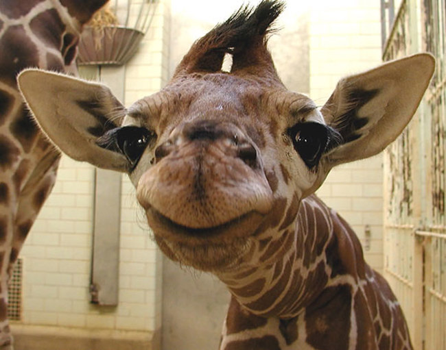 This smiling giraffe will brighten your day.