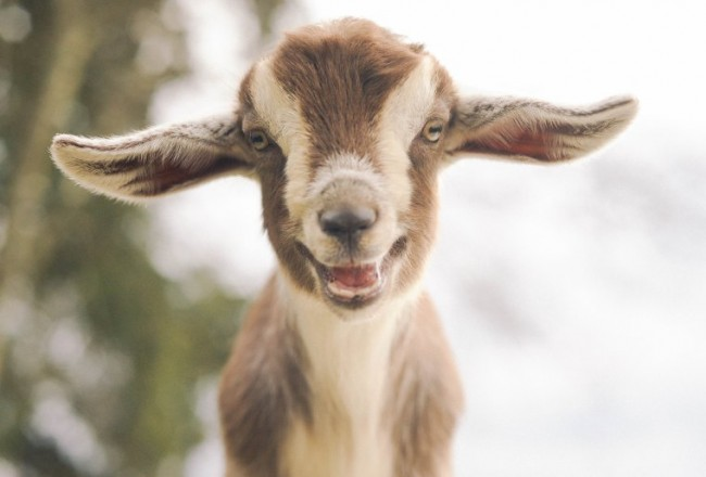 This smiling goat will brighten your day.