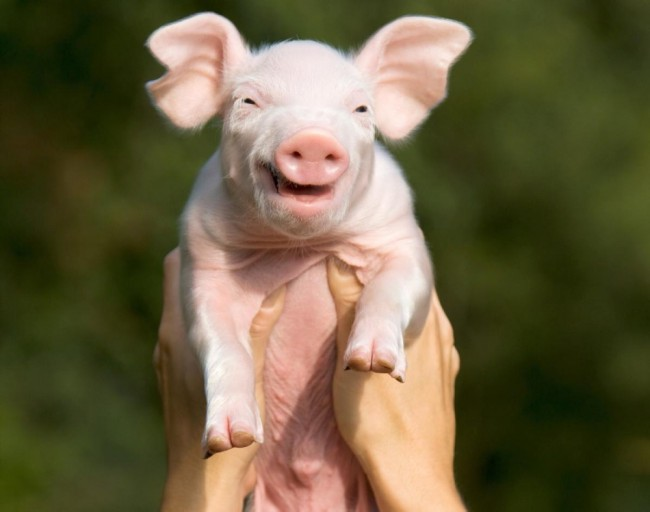This smiling pig will brighten your day.