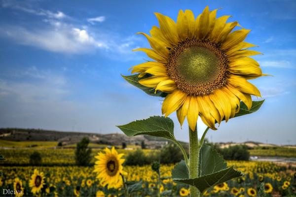 Sunflower fields in Spain.
