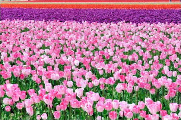 Flower fields of red and pink tulips in Netherlands.