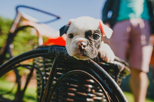 These is the sweetest bulldog puppy you have ever seen.