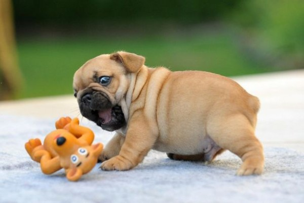 These are the cutest bulldog puppies you have ever seen.