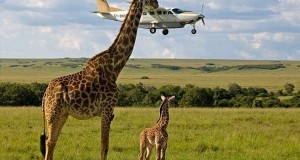 perfectly timed photos, airplane, giraffe