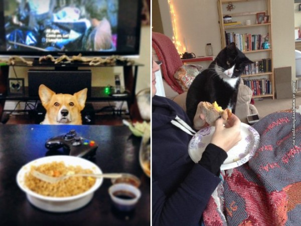 Funny cats and dogs pictures looking at food.