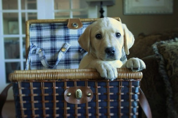 Reasons why to have a Labrador in your home.