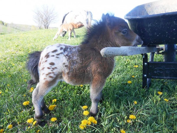 The cutest mini horses you have ever seen.