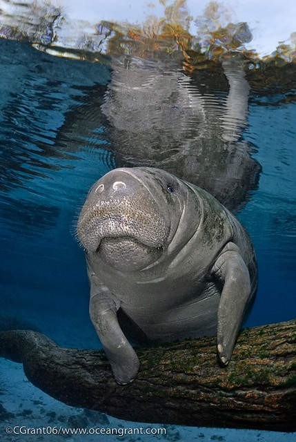 manatees in Madison blue springs state park in Florida, which is one of the best swimming holes in America.