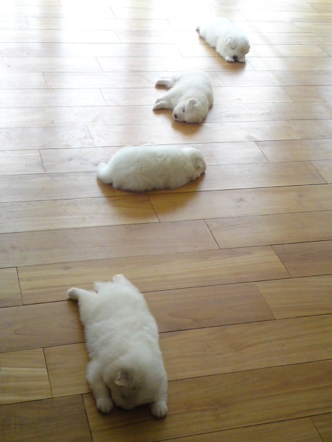 Adorable puppies sleeping on the floor.